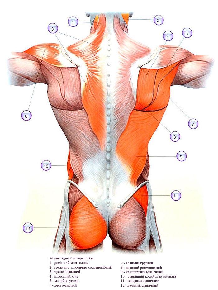 М'язи задньої поверхні тіла.